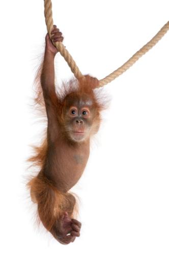 Baby Sumatran Orangutan hanging on rope against white background 95743036
