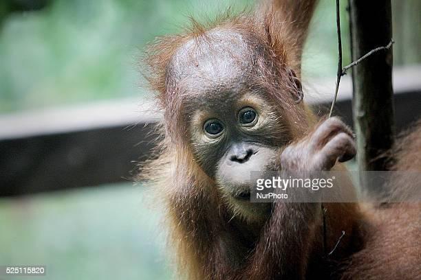 A baby Sumatran Orangutan located in forest areas Gunung Leuser National Park Langkat Sumatra Indonesia on Tuesday November 18 2014 Experts predict...