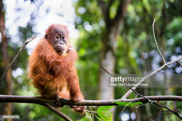 A baby Sumatran Orangutan pauses for a moment while playing on a branch in Gunung Leuser National Park, Sumatra, Indonesia.