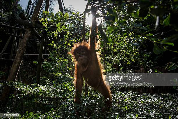 Baby sumatran orangutan plays around in a tree as they train at Sumatran Orangutan Conservation Programme's rehabilitation center on November 12 2016...