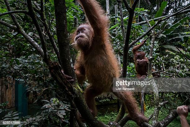 Baby sumatran orangutans playing around the trees as they train at Sumatran Orangutan Conservation Programme's rehabilitation center on November 10...