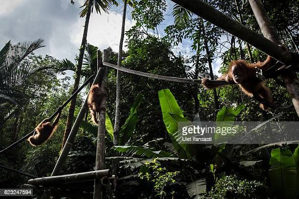 Baby sumatran orangutans playing in playgound as they train at Sumatran Orangutan Conservation Programme's rehabilitation center on November 12 2016...