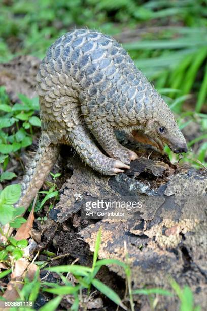 A baby Sunda pangolin nicknamed 'Sandshrew' feeds on termites in the woods at Singapore Zoo on June 30 2017 Sandshrew was brought to the Wildlife...