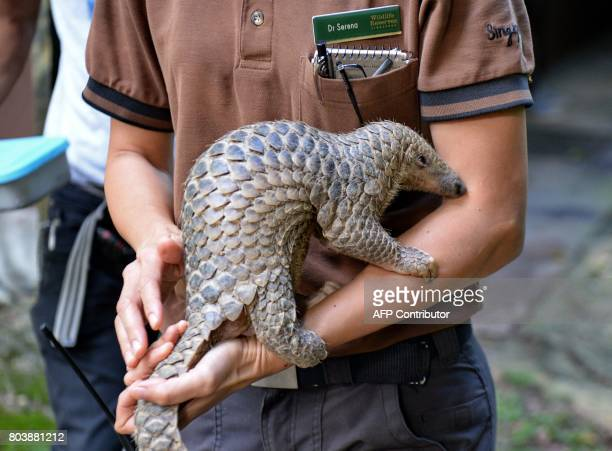 A baby Sunda pangolin nicknamed 'Sandshrew' is taken out for feeding by Serena Oh assistant director and head vet of Veterinary Services in Wildlife...