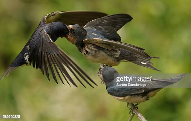 A Baby Swallow being fed by its parent in flight.