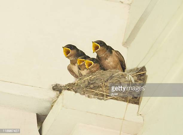 baby swallows - birdsong stock pictures, royalty-free photos & images