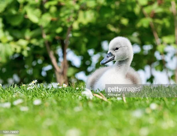 Baby Swan (Cygnet)