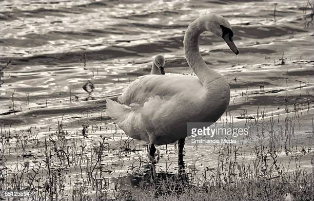 baby swan riding piggyback-cygnus buccinator - ugly duckling stock photos and pictures
