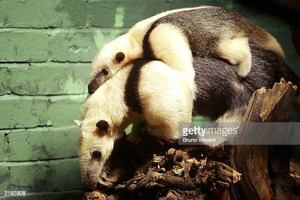 Baby Tamandua, the first to be born in Britain clings to its mothers back July 24, 2003 at Regents Park Zoo, London, United Kingdom. Tamanduas are...