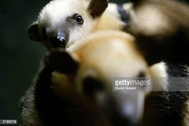 Baby Tamandua, the first to be born in Britain, clings to its mothers back at Regents Park Zoo July 24, 2003 London, United Kingdom. Tamanduas are...