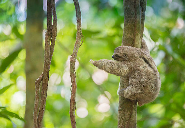 baby three-toed tree sloth reaches out for a branch, costa rica - sloth animal stock pictures, royalty-free photos & images