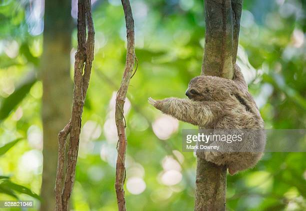 baby three-toed tree sloth reaches out for a branch, costa rica - bradipo foto e immagini stock