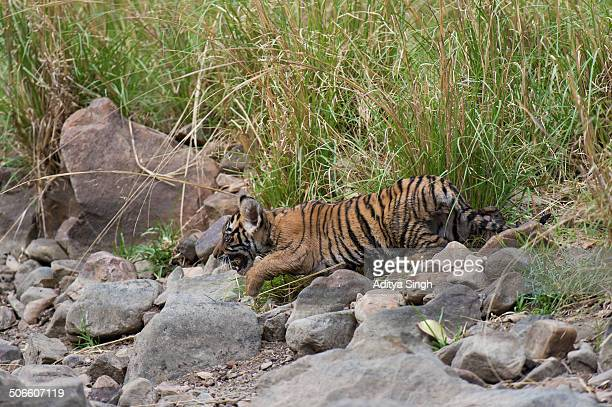 Baby tiger cub in a forest
