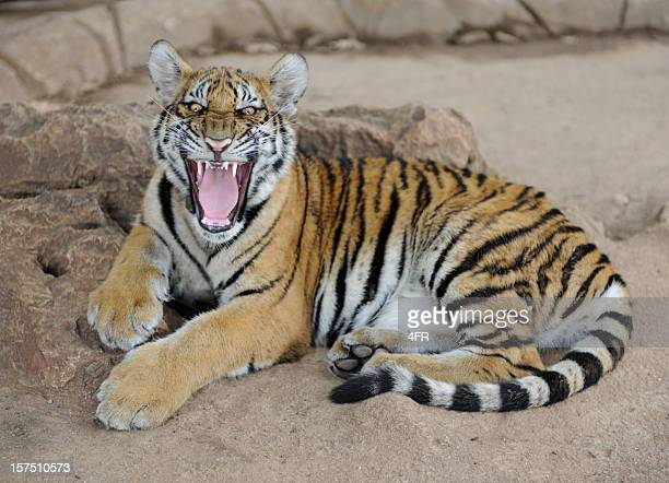 Baby Tiger Cub snarling its Teeth (XXXL)