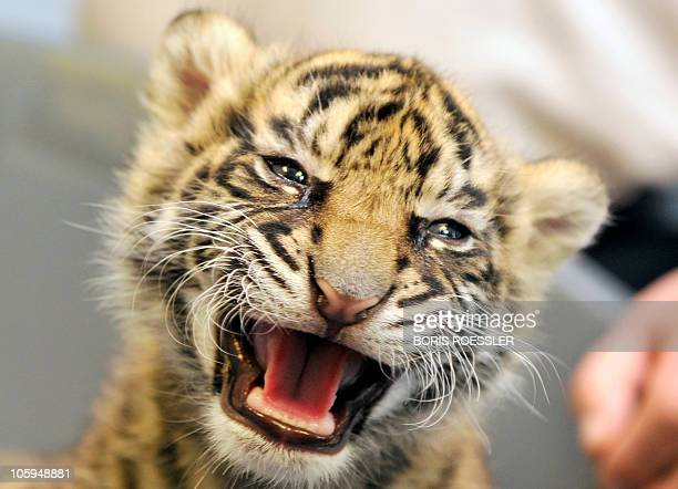 A baby tiger named Daseepis presented to journalists a the zoo in the central German city