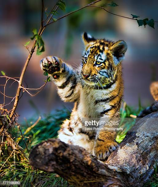 baby tiger practice swat - tiger cub stock photos and pictures