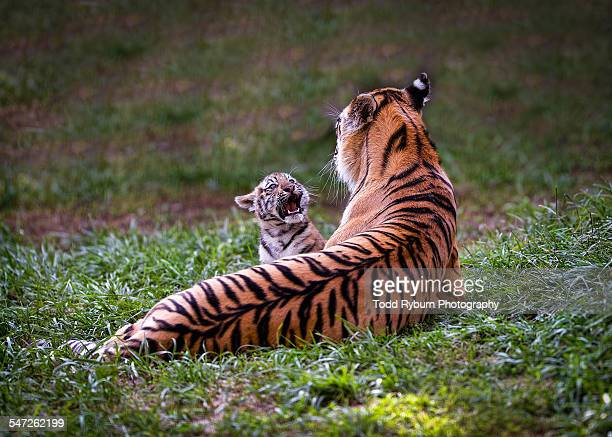 Baby Tiger 'Talking' to Mom
