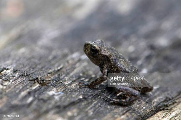 A baby toad emerges from a pond at the RSPB's Broadwater Warren on June 18 2017 in Tunbridge Wells England