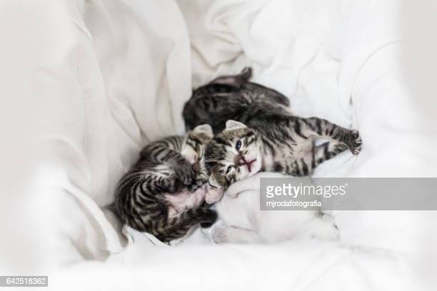 baby triplet kittens - mjrodafotografia fotografías e imágenes de stock