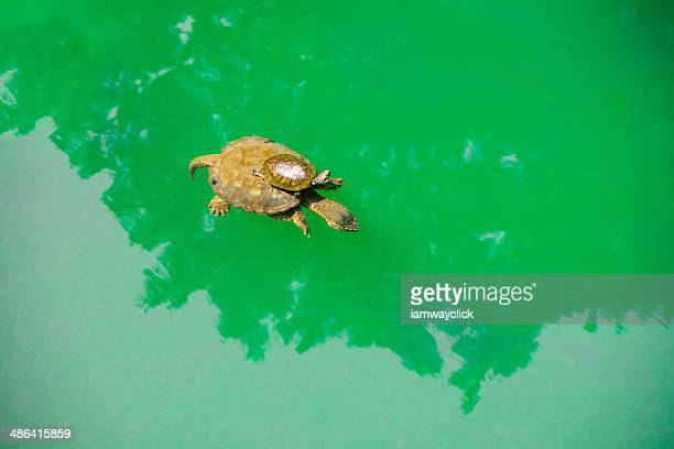 A Baby turtle ride on a mother 's back in green sea water