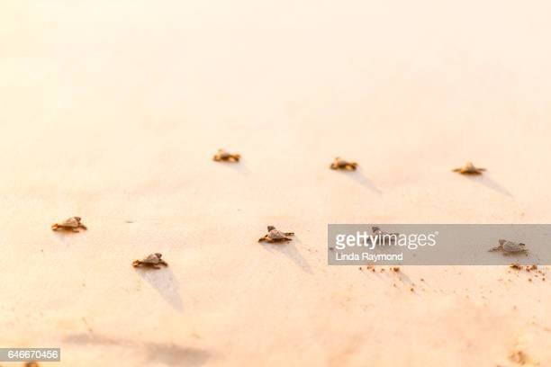 Baby turtles race to the pacific ocean