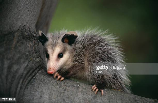 Baby Virginia Opossum on Branch