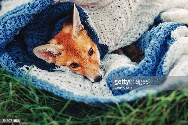 Baby vixen resting in the blanket, Red Fox (Vulpes vulpes)