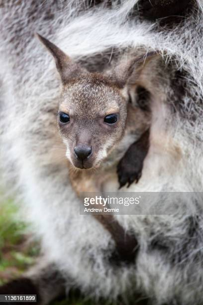 baby wallaby - andrew dernie stock pictures, royalty-free photos & images
