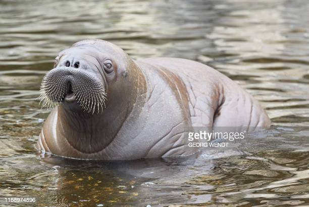"""Baby walrus """"Fiete"""" takes a bath in a pool of the Tierpark Hagenbeck zoo in Hamburg, northern Germany, on August 2, 2019. - """"Fiete"""" was born on May..."""