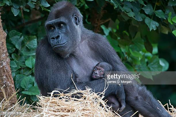 Baby Western Lowland Gorilla has first appearance at Melbourne Zoo Australia on March 18 2015 in Melbourne Australia