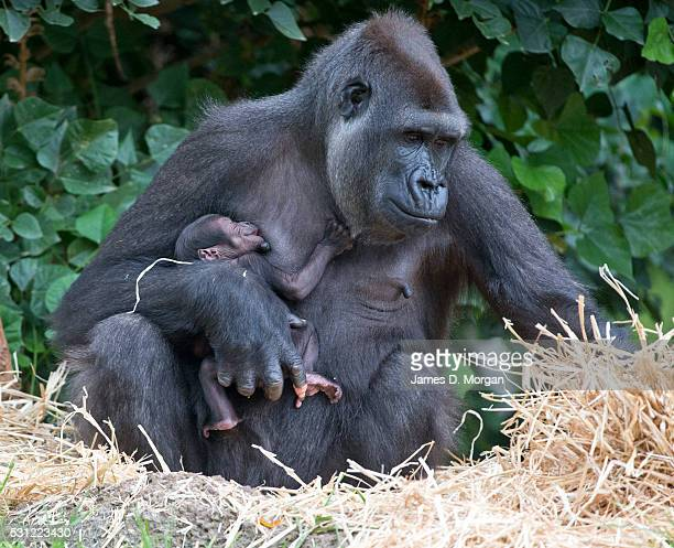 Baby Western Lowland Gorilla has first appearance at Melbourne Zoo, Australia on March 18, 2015 in Melbourne, Australia.