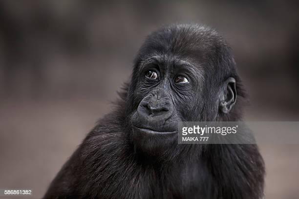 Baby western lowland gorilla (Gorilla gorilla gorilla)
