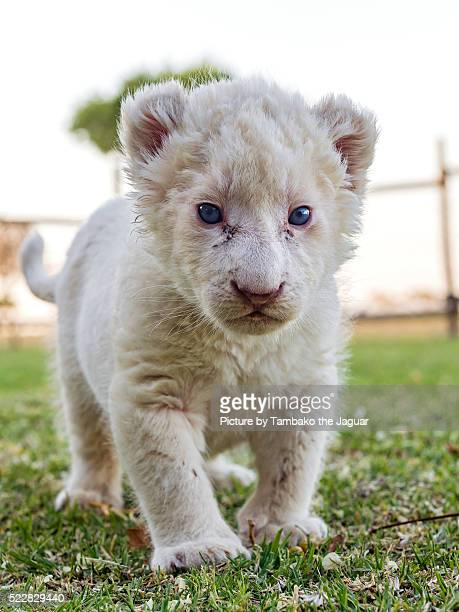 baby white lioness - white lion stock photos and pictures