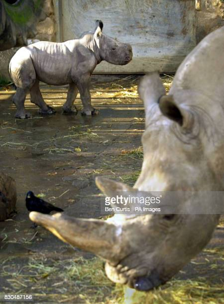 Baby white Rhino 'Kei' who is less than a fortnight old and weighs 42 kilos walks around under the watchful eye of mother 'Umfolozi' who is known as...