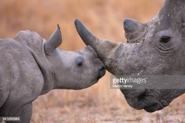 baby white rhinoceros and mother (ceratotherium simum). south africa - young animal stock pictures, royalty-free photos & images