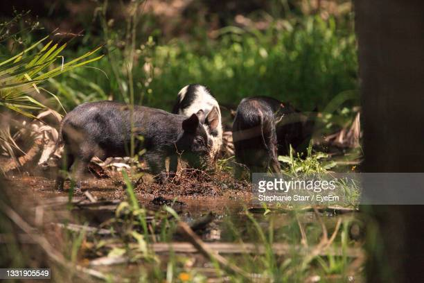 baby wild hog also called feral hog or sus scrofa forage for food in myakka river state park - florida us state stock pictures, royalty-free photos & images
