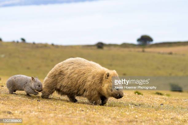 baby wombat with its mum - wombat stock pictures, royalty-free photos & images