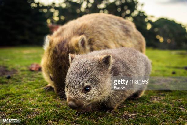 Baby wombat with the mother at Maria Island.