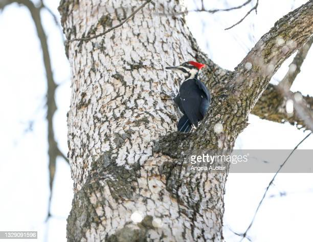 baby woodpecker on dying ash tree - angela auclair stock pictures, royalty-free photos & images