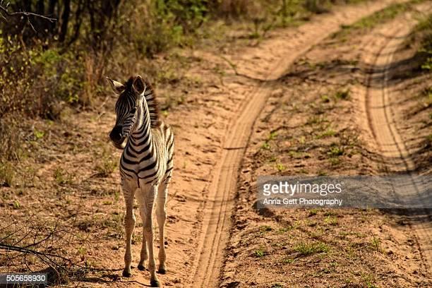 Baby Zebra, Khama Rhino Sanctuary