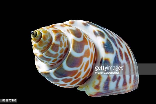 Babylonia spirata, sea snail