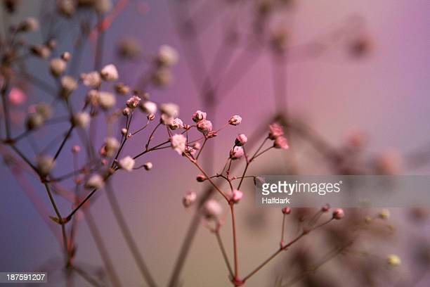 Baby's Breath (Gypsophila paniculata) against a pastel background