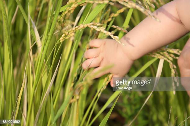 baby's hand grabbing ears of rice - blade of grass stock pictures, royalty-free photos & images