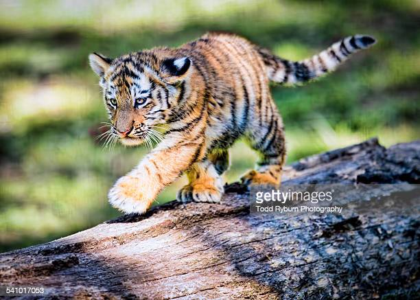 babytiger walking on fallen log - tiger cub stock photos and pictures