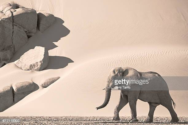 A bachelor desert elephant bull roams through dry river valleys along Namibia's Skeleton Coast