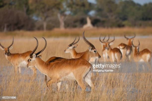 A bachelor herd of Red lechwe in the swamp of the Vumbura Plains in the Okavango Delta in northern part of Botswana