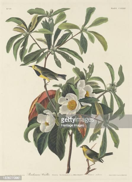 Bachman's Warbler, 1834. Artist Robert Havell.