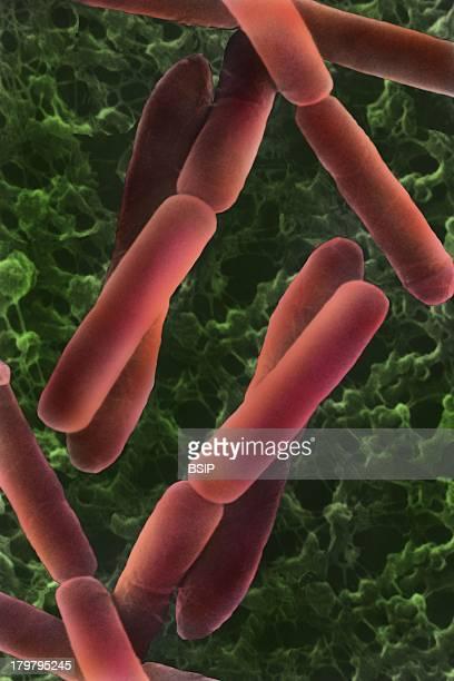 Bacillus Subtilis SEM Scanning Electron Microscope