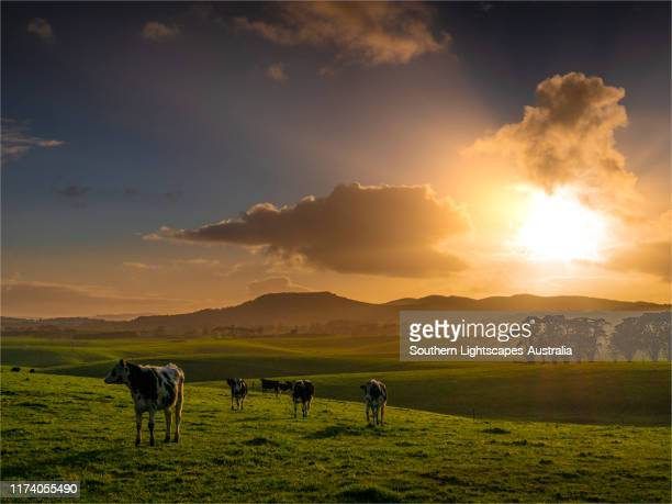 back light at dawn on dairy cattle, fish creek, leongatha district, south gippsland, victoria, australia. - south australia stock pictures, royalty-free photos & images