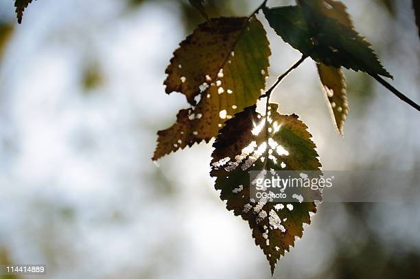 back lit autumn leaves - ogphoto stock pictures, royalty-free photos & images